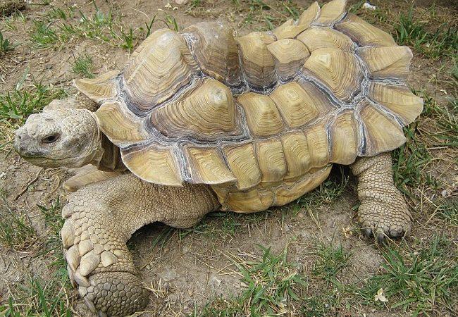 Sulcata Tortoise Pyramiding
